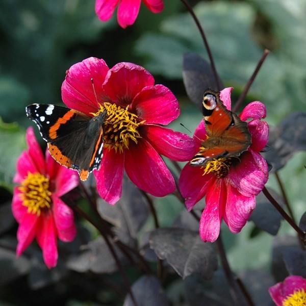 NIEUW: cursus wilde bijen en dagvlinders
