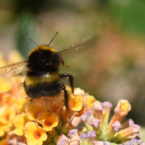 Cursus Wilde bijen & dagvlinders/hun planten & beheer