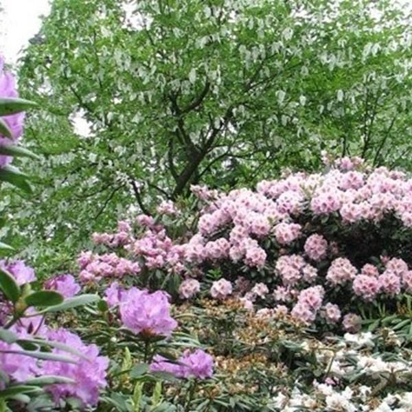Over de rhododendron; deel 1
